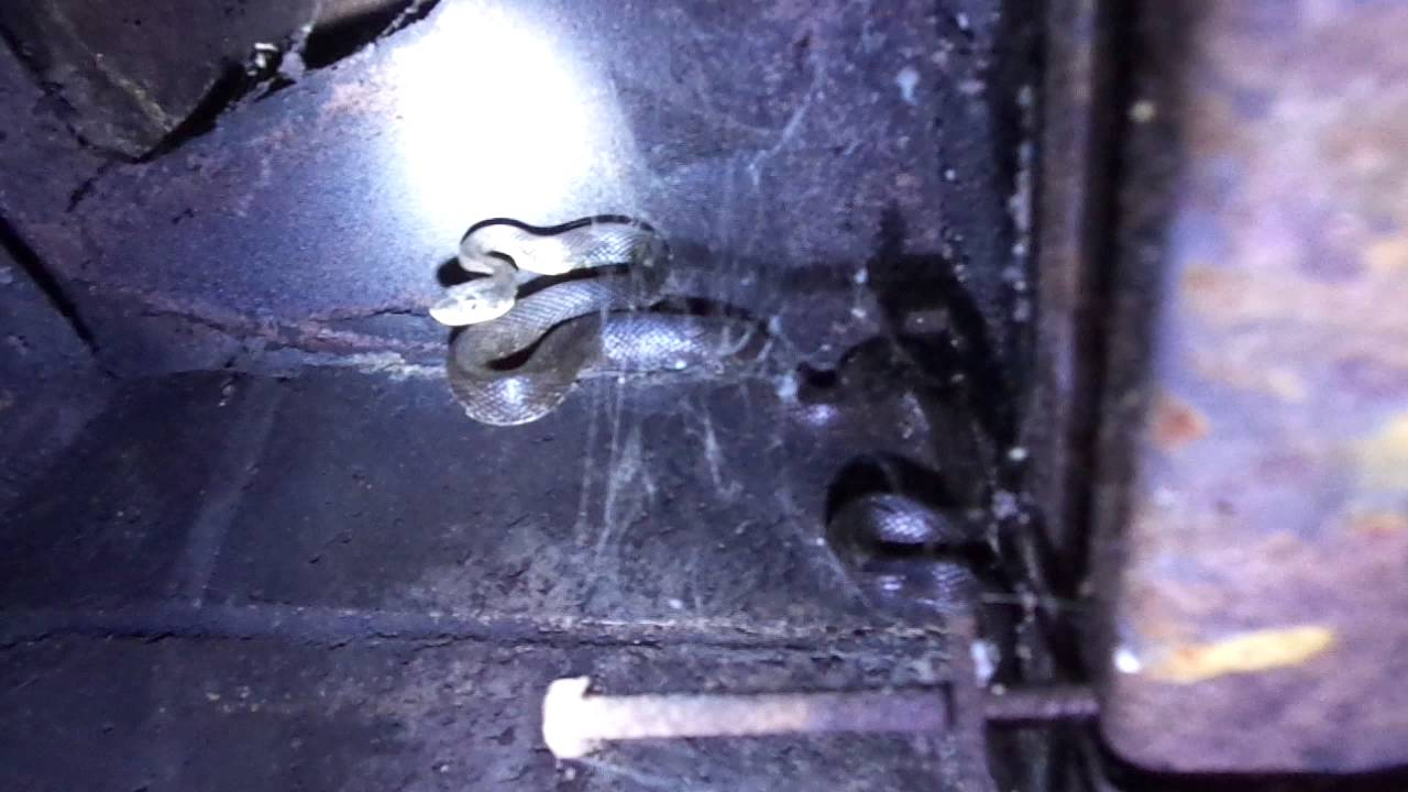 Charlotte Home Inspector Finds A Fireplace Snake